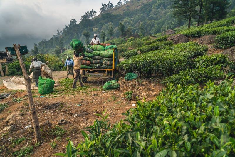 Gr?n Munnar-Teeplantagen-Keralas Indien lizenzfreie stockfotos