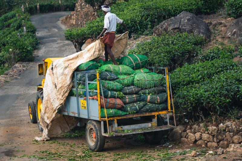 Gr?n Munnar-Teeplantagen-Keralas Indien stockfotos