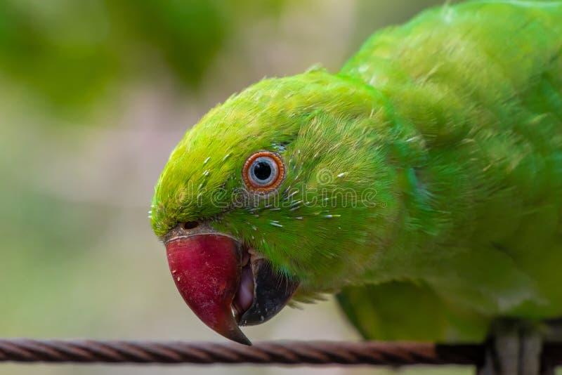 gr?n papegoja arkivfoton