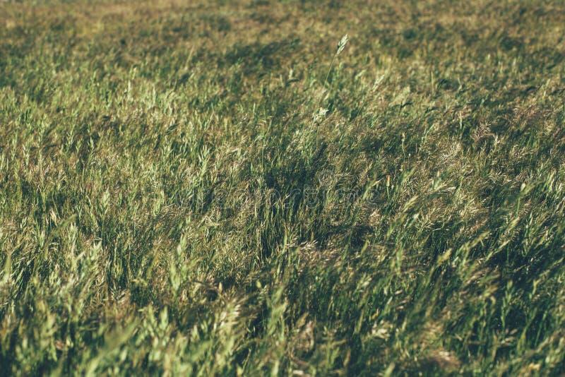 Gr?n sommargr?s?ng i solljus gr?stextur och bakgrund Naturliga och organiska bakgrunder fotografering för bildbyråer