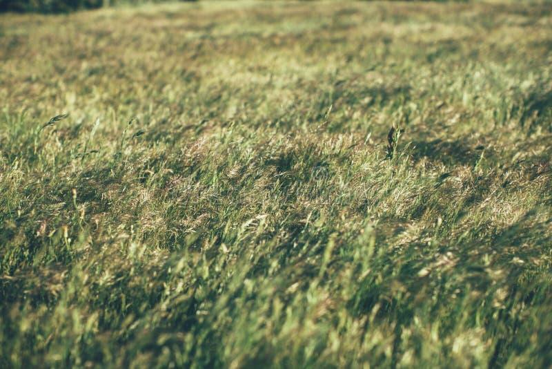 Gr?n sommargr?s?ng i solljus gr?stextur och bakgrund Naturliga och organiska bakgrunder arkivbilder
