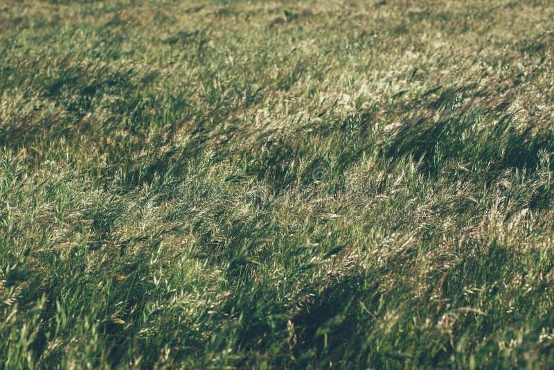 Gr?n sommargr?s?ng i solljus gr?stextur och bakgrund Naturliga och organiska bakgrunder royaltyfri foto