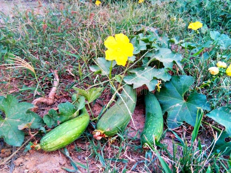 Gr?na gr?nsaker med gula blommor fotografering för bildbyråer