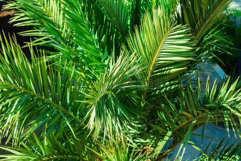 Gr?na palmblad st?nger sig upp royaltyfri foto