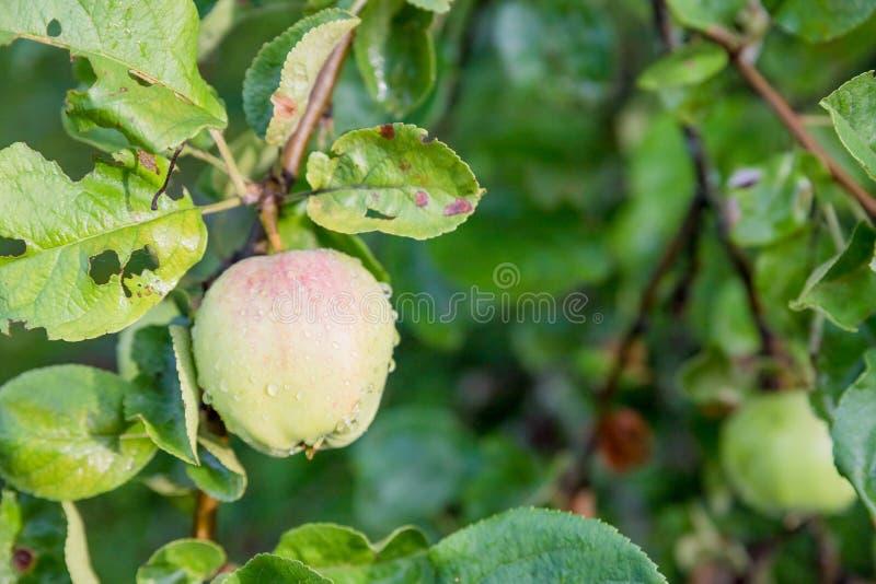 Gr?na ?pplen p? en filial som ?r klar att sk?rdas Moget smakligt äpple på träd i solig sommardag Välj dig egen fruktodling royaltyfria foton