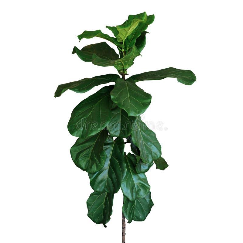 Gr?na sidor av lyrataen f?r lurendrejeri-blad fikontr?dfikus den tropiska houseplanten f?r popul?rt dekorativt tr?d som isoleras  royaltyfria foton