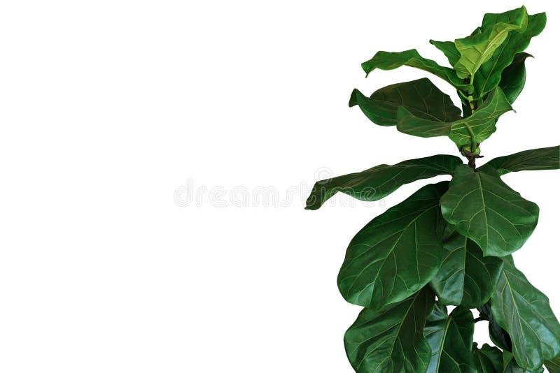 Gr?na sidor av lyrataen f?r lurendrejeri-blad fikontr?dfikus den tropiska houseplanten f?r popul?rt dekorativt tr?d som isoleras  arkivfoto