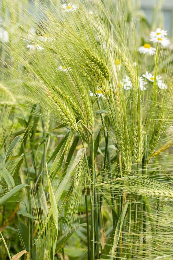 Gr?ne Rye-Ohren Samen eines landwirtschaftlichen Getreidebetriebsroggen Sekal cerealele Bluegrass, Roggenspitze in der Natur, Kor lizenzfreies stockbild