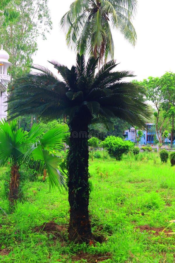 Gr?ne sch?ne Palme Langer Stamm-Dattelpalme-Baum Daten an einer Palme Datumspalmenniederlassungen mit reifen Daten B?ndel barhi D stockfotos