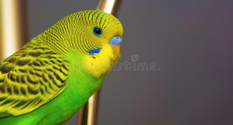 Gr?ne und gelbe Farben des gewellten Papageien Auszug unscharfer Hintergrund Solargreller glanz Raum f?r Text Ein heller sch?ner  lizenzfreies stockbild