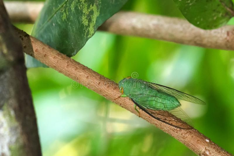 Gr?ne Zikade gehockt auf einem Baumast im Wald stockbild