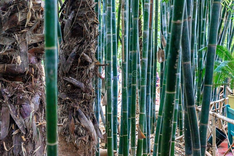Gr?ner Bambuswald in einem Park in einer nat?rlichen Umwelt in Maraces stockbild