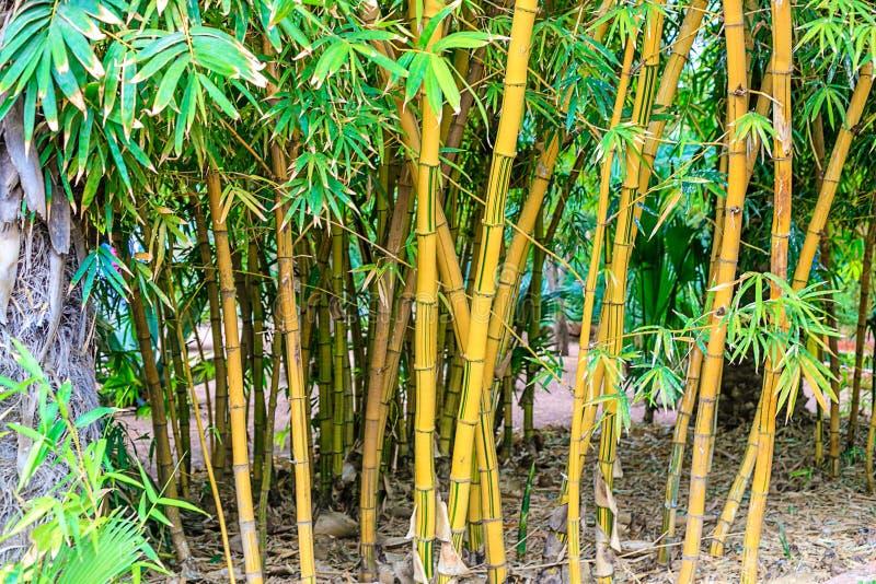 Gr?ner Bambuswald in einem Park in einer nat?rlichen Umwelt in Maraces stockfotos