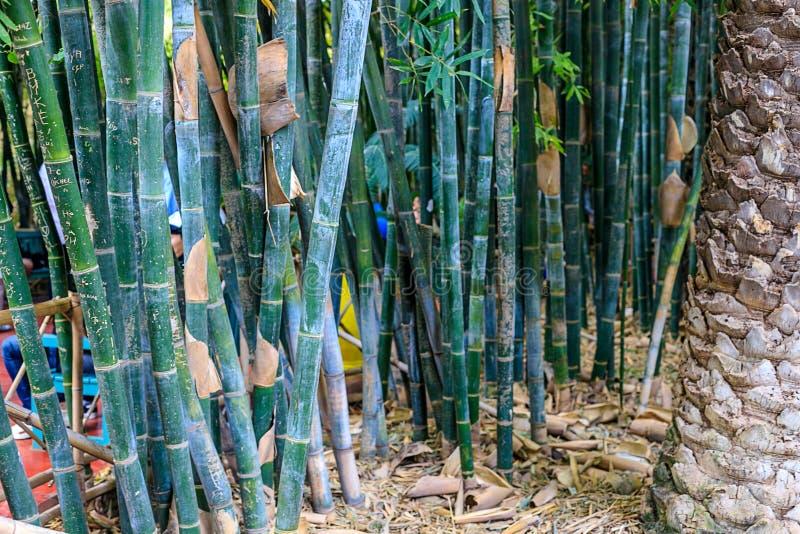 Gr?ner Bambuswald in einem Park in einer nat?rlichen Umwelt in Maraces stockbilder
