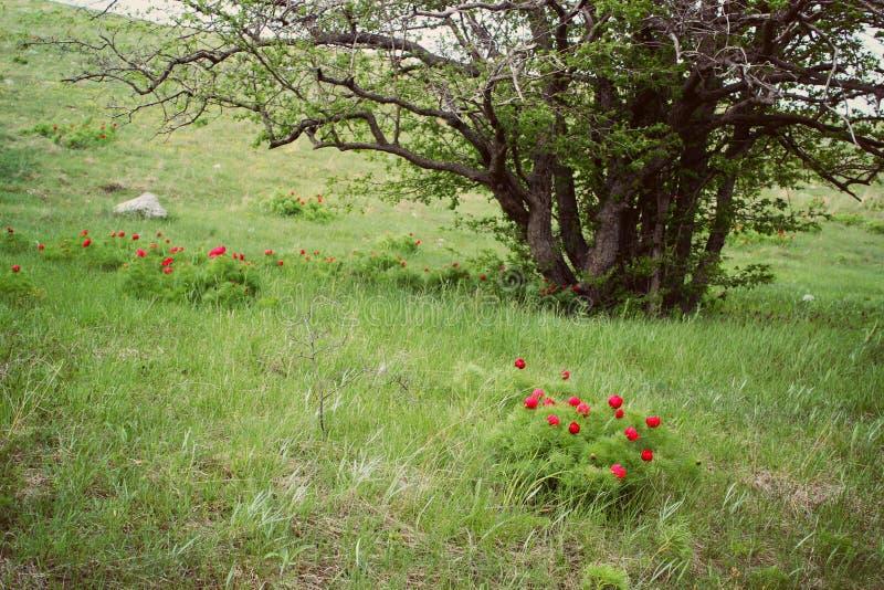 Gr?ner Baum auf einem H?gel im Fr?hjahr, eine Lichtung mit hellen Farben, eine Landschaft von Krim stockfotografie