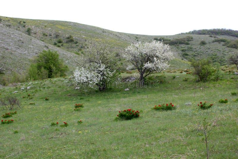 Gr?ner Baum auf einem H?gel im Fr?hjahr, eine Lichtung mit hellen Farben, eine Landschaft von Krim stockfotos