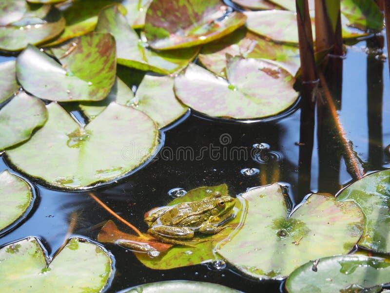 Gr?ner Frosch, der auf einem Lotosblatt sitzt lizenzfreie stockfotos