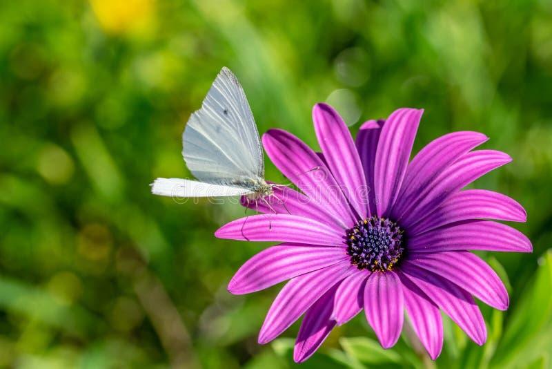 Gr?ner ge?derter Schmetterling, der Nektarbl?tenstaub vom purpurroten Afrikaner Daisy Osteospermum Tresco Purple sammelt lizenzfreie stockbilder