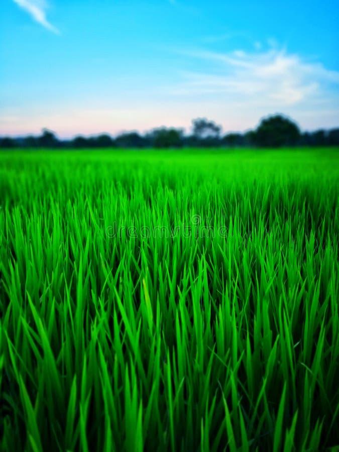 Gr?ner Landwirt des Reisfeld-Paddys lizenzfreies stockfoto