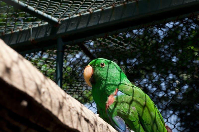 Gr?ner Papagei im K?fig lizenzfreie stockfotos