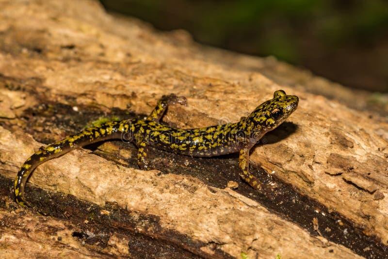 Gr?ner Salamander-Abschluss oben lizenzfreies stockbild
