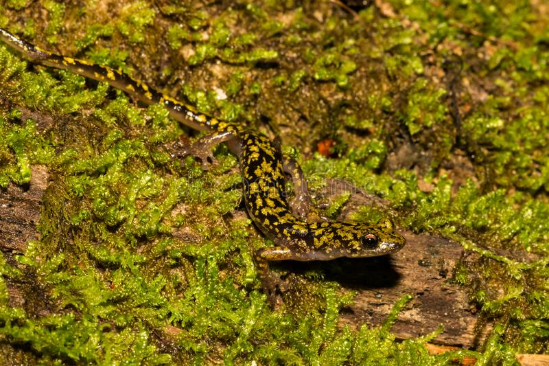 Gr?ner Salamander-Abschluss oben lizenzfreies stockfoto