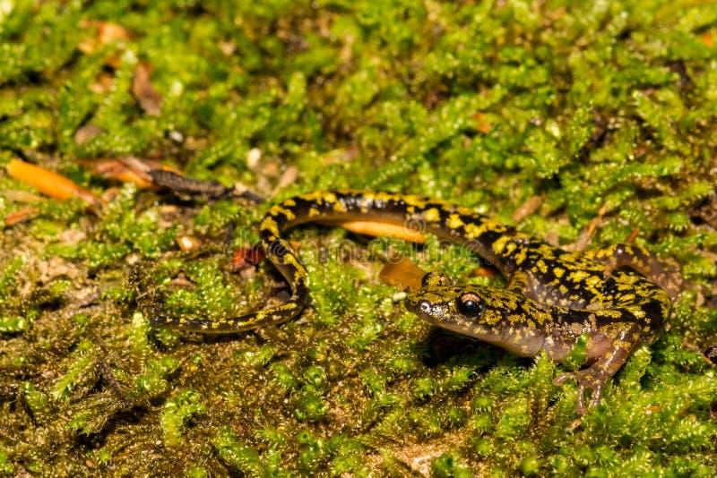 Gr?ner Salamander-Abschluss oben lizenzfreie stockfotografie