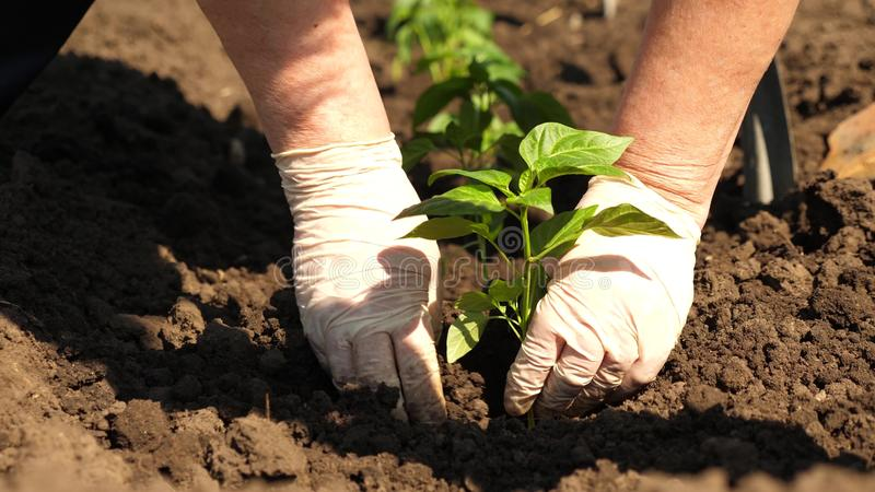 Gr?ner Spr?ssling gepflanzt im Boden mit den H?nden in den Handschuhen Nahaufnahme Bearbeitung des Tomatenlandwirts Tomatens?mlin lizenzfreies stockbild