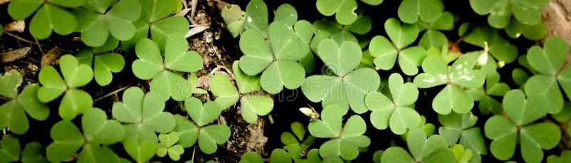 Gr?nes Kleeblatt lokalisiert auf wei?em Hintergrund mit drei-leaved Shamrocks St- Patrick` s Tagesfeiertagssymbol stockbild