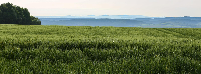 Gr?nes Weizenfeld an einem sonnigen Sommertag lizenzfreies stockbild