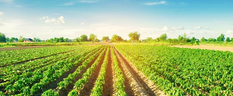 Gr?nsakrader av peppar v?xer i f?ltet Lantbruk jordbruk Landskap med jordbruks- land baner Selektivt fokusera fotografering för bildbyråer