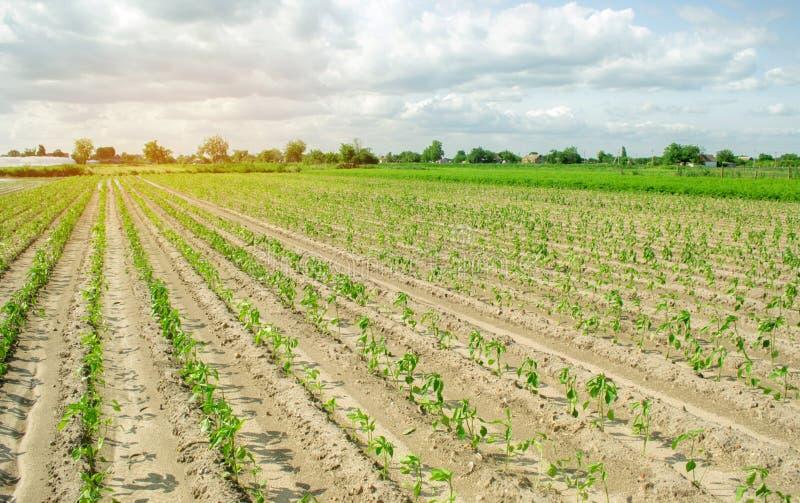Gr?nsakrader av peppar v?xer i f?ltet Lantbruk jordbruk Landskap med jordbruks- land Växande organiska bio grönsaker arkivfoto