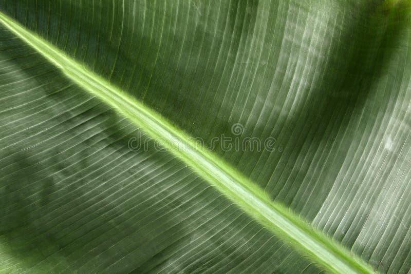 Gr?nt bananblad som bakgrund, closeupsikt royaltyfri fotografi