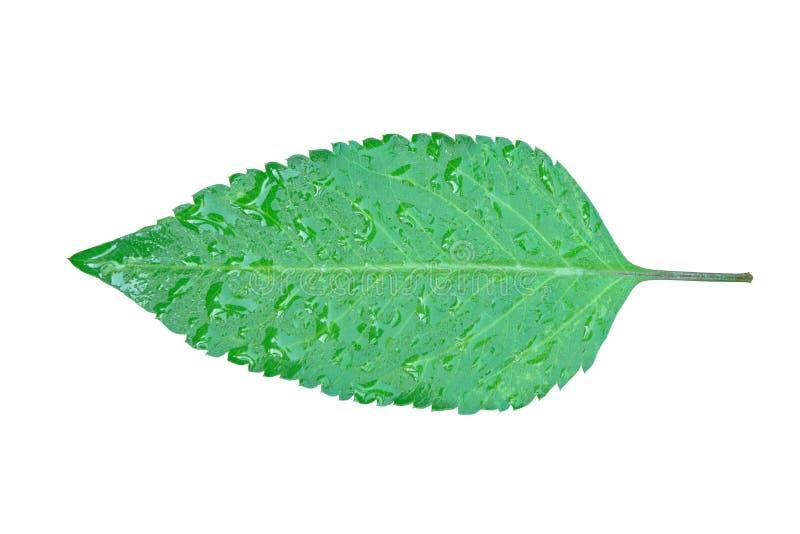 gr?nt leafvatten f?r droppe royaltyfri bild