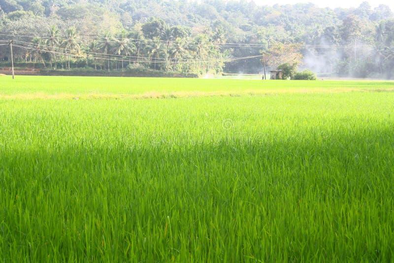 grön frodig paddy för fält arkivfoto