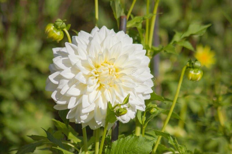 Gr?splanbakgrund f?r vit blomma royaltyfri foto