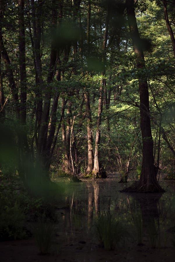 Gra światła i cienia Pływanie w lesie zdjęcie royalty free