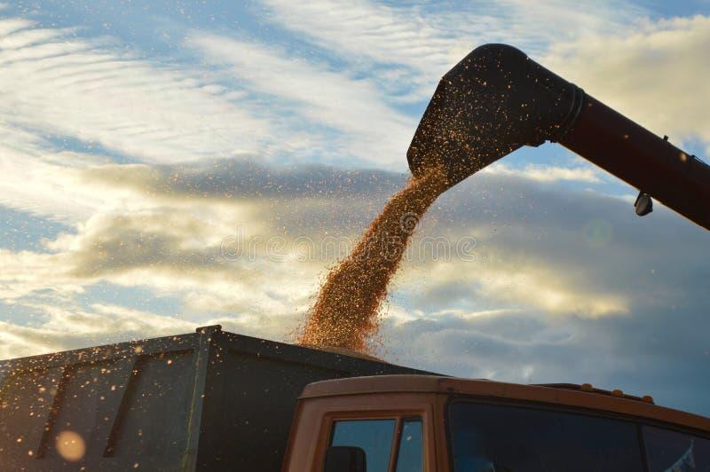Graan het oogsten graan royalty-vrije stock afbeeldingen