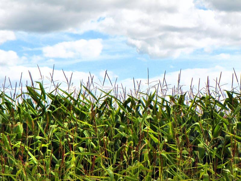 Graan landbouw onder blauwe bewolkte hemel in de zomer royalty-vrije stock afbeeldingen