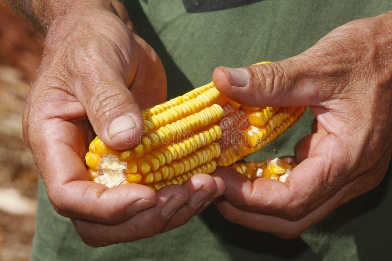 Graan in landbouwershanden royalty-vrije stock afbeelding