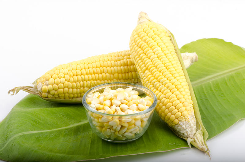 Graan, maïs (Zea mays L.). stock fotografie