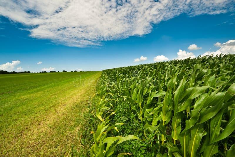 Graan op landbouwgrond in de zomer stock afbeelding