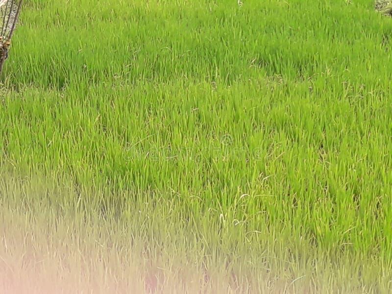 Graanbomen stock afbeelding