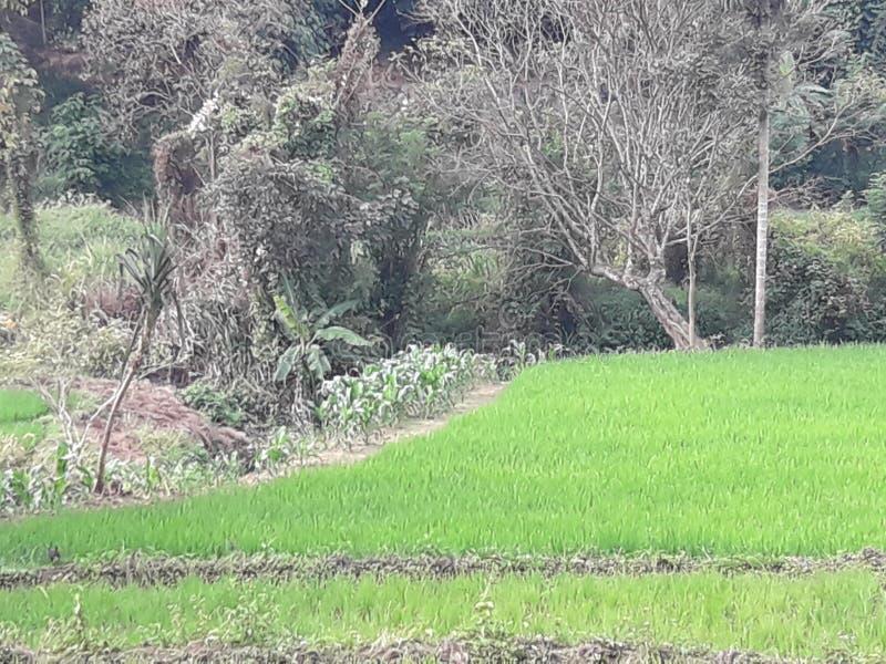 Graanbomen stock afbeeldingen