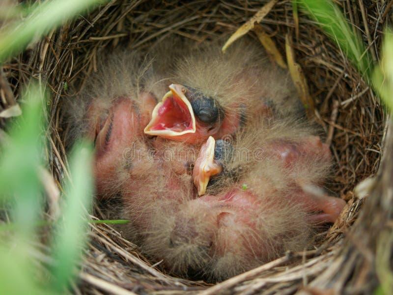 Graanbunting nest met nestvogels stock foto's