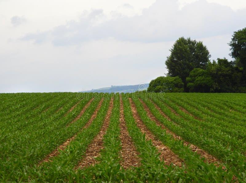 Graangebied het groeien in de hete maand van New York Juni stock afbeelding