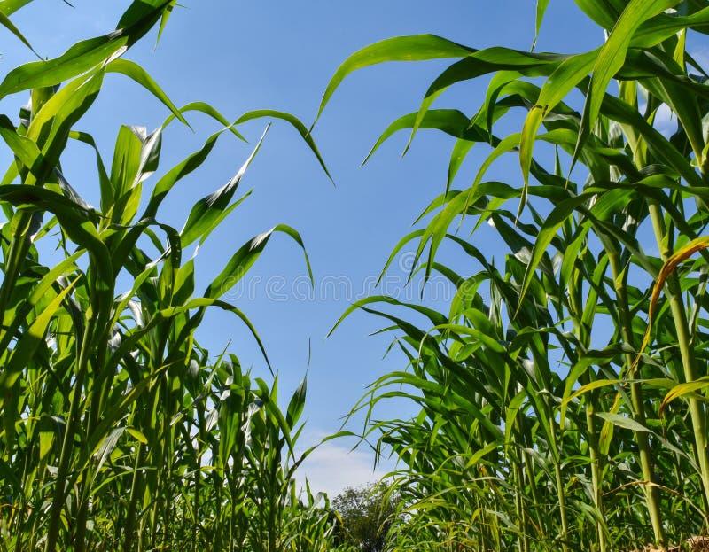 Graangebied, landbouw door de filosofie van de voldoende hoeveelheidseconomie in het platteland van Thailand royalty-vrije stock afbeelding