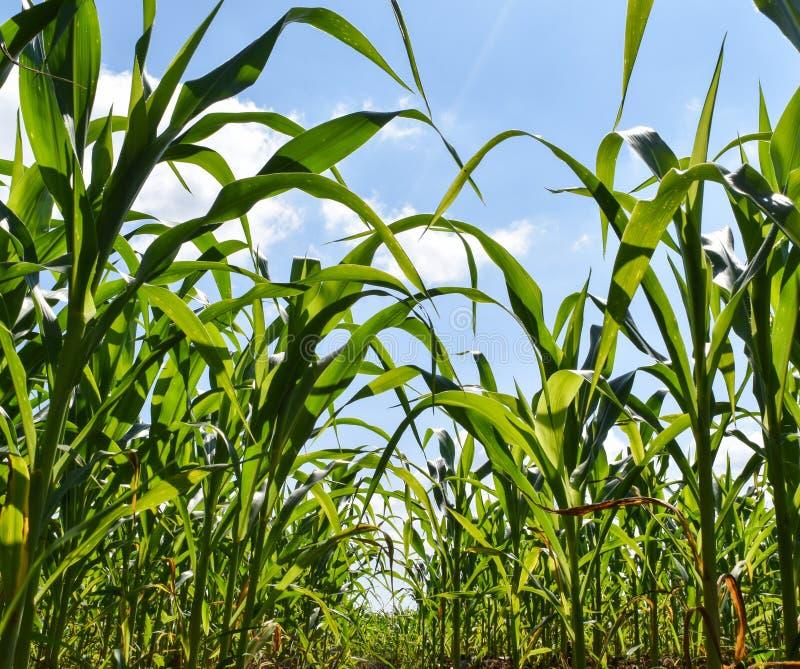 Graangebied, landbouw door de filosofie van de voldoende hoeveelheidseconomie in het platteland van Thailand royalty-vrije stock afbeeldingen