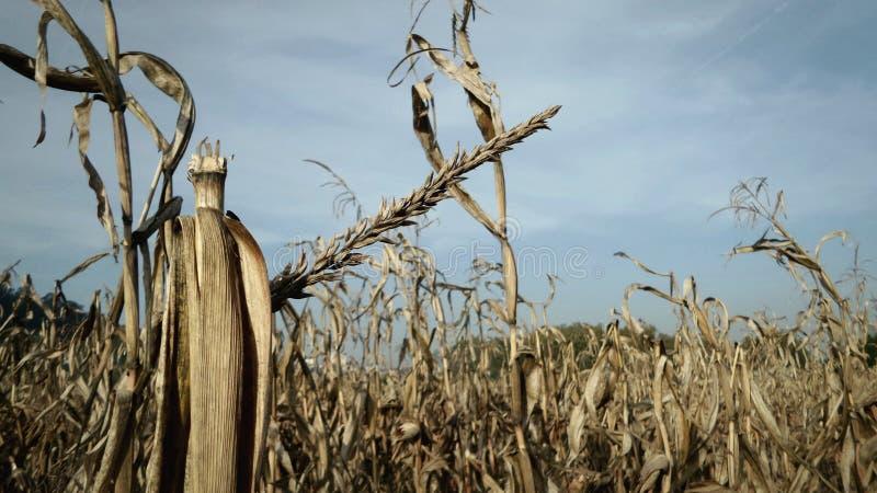 Graangebied in oogstseizoen royalty-vrije stock afbeelding