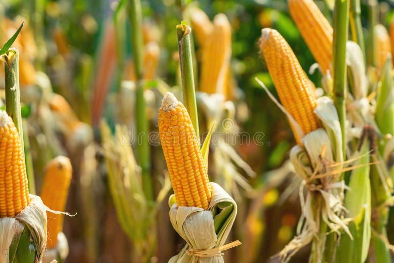 Graangebied op gewasseninstallatie voor het oogsten stock foto's